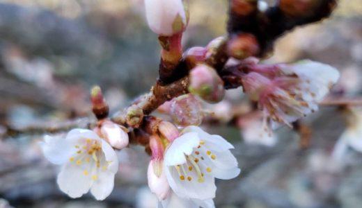 早春の便りー1月の桜