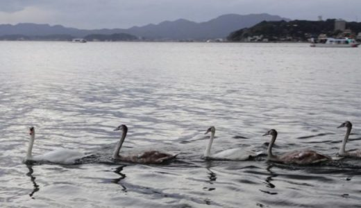 宍道湖の白鳥