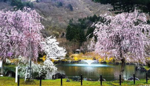 桜…ここは今が見ごろです