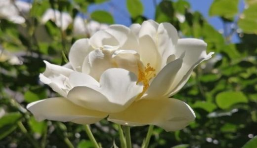 バラが咲きました1