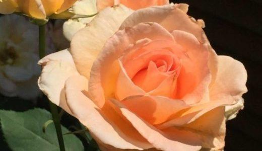 バラが咲きました2