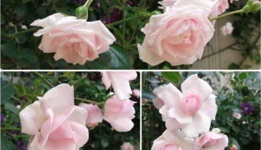 バラが咲きました3