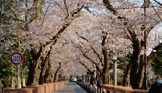青山霊園の桜🌸