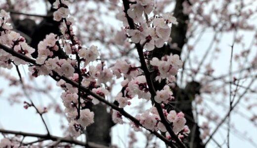 大寒桜とあんずの花