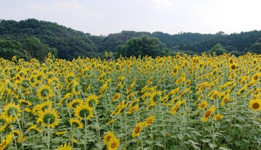 比良の丘のひまわり畑